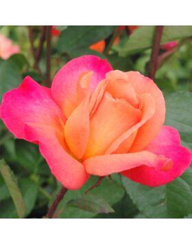 Rosa Animo - Narancssárga ágyás rózsa