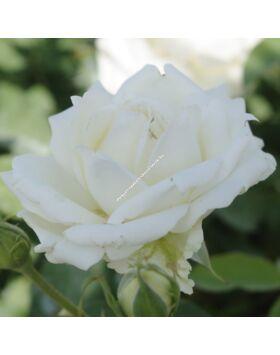 Rosa Antique Silk- Fehér-vajszínű  ágyás rózsa