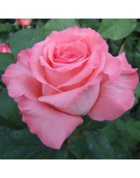 Rosa Bel Ange - Rózsaszín teahibrid rózsa