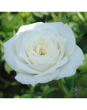 Rosa 'Bianco' - Fehér mini rózsa