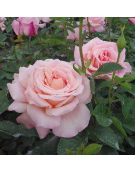 Rosa Budatétény - Sárgás barack rózsaszínű teahibrid rózsa