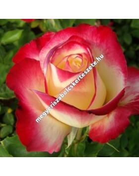 Rosa 'Double Delight' - Piros-fehér teahibrid rózsa
