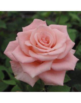Rosa Bettina '78 - Rózsaszín virágágyi - teahibrid vágó rózsa