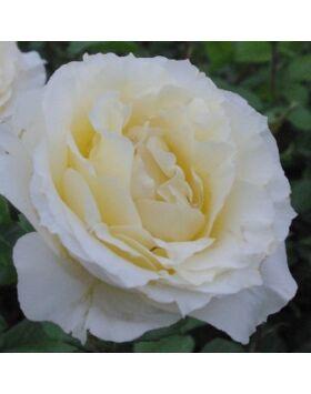 Rosa Iris Honey - Vajszínű teahibrid rózsa
