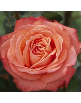 Rosa 'Queen of Roses' - Vörös-vajsárga teahibrid rózsa