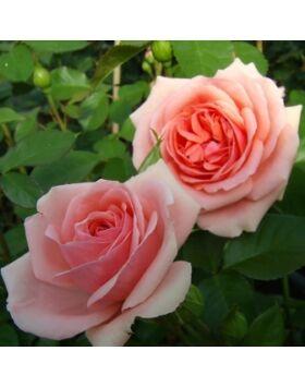 Rosa Kimono - Rózsaszín ágyás rózsa