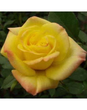 Rosa Korcelin - Rézsárga mini rózsa