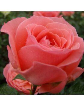 Rosa First Edition - Lazacrózsaszínű ágyás rózsa