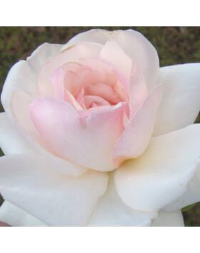 Rosa Schwanensee - Fehér futórózsa