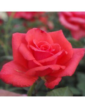 Rosa Resolut - Piros ágyás rózsa