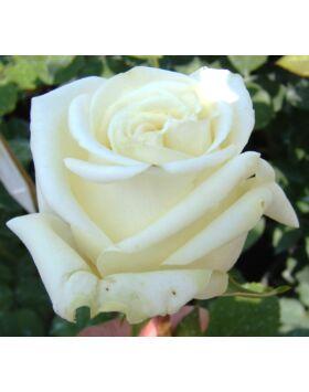 Rosa Varo Iglo - Fehér teahibrid rózsa