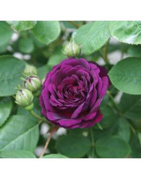 Rosa Gipsy Boy Liláspiros történelmi rózsa