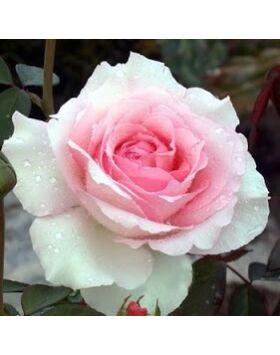 Rosa Grand Siécle - Világos rózsaszín teahibrid rózsa