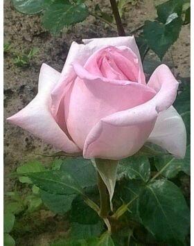 Rosa Königlich Hoheit - Porcelánrózsaszín teahibrid rózsa