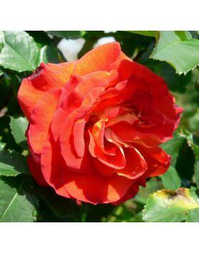 Rosa 'Lydia' - Piros-narancssárga parkrózsa