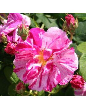Rosa Rosa Mundi - Világos karmazsinvörös történelmi rózsa fehér csíkokkal