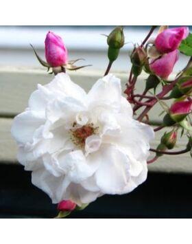 Rosa Venusta Pendula - Fehér-rózsaszín történelmi rózsa