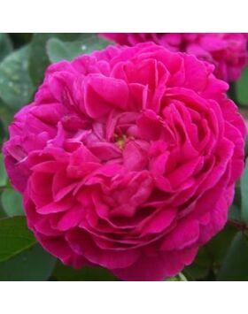 Rosa Rose de Resht - Lilás pirosas színű történelmi rózsa