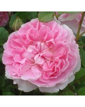 rosa_ausglisten_rozsaszin_angol_romantikus rozsa
