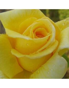 Rosa Royal Gold - Sárga futórózsa
