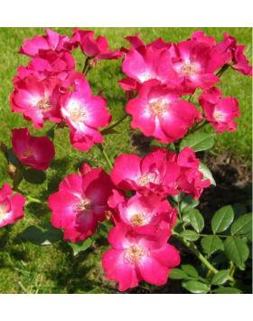 Rosa Orléans Rose - Sötétrózsaszín ágyás rózsa
