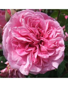 rosa_ausbord_rozsaszin_romantikus_rozsa