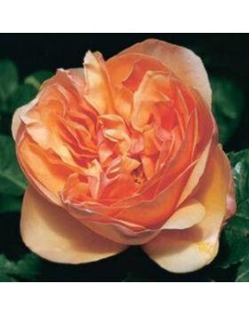 rosa_ellen_barackszinu_angol_romantikus_rozsa