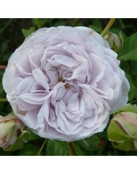 Rosa 'Griselis' - Halványlila nosztalgia romantikus rózsa