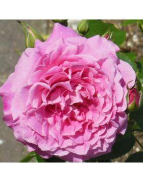 Rosa Szent Erzsébet (St. Elisabeth of Hun) - Rózsaszín termetes rózsa