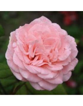 Rosa Marcsika - Halványrózsaszín teahibrid rózsa