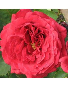 Rosa 'Pannonhalma' - Cseresznyepiros teahibrid rózsa