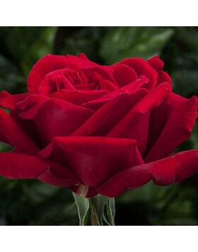 Rosa Poulman - Piros teahibrid rózsa