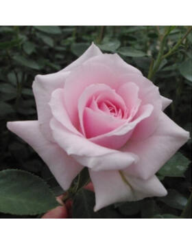 Rosa Felberg's Rosa Druschki - Rózsaszín parkrózsa