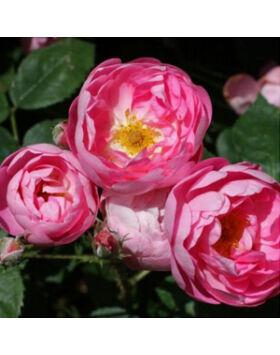 Rosa Macrantha Raubritter - Világos rózsaszín parkrózsa