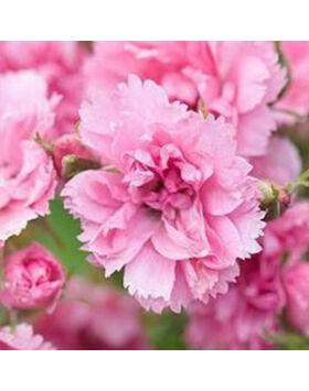 Rosa Pink Grootendorst - Rózsaszín termetes parkrózsa
