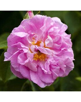 Rosa 'Celsiana' Világos rózsaszín történelmi rózsa