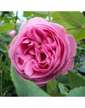 Rosa Louise Odier Világos rózsaszín történelmi rózsa