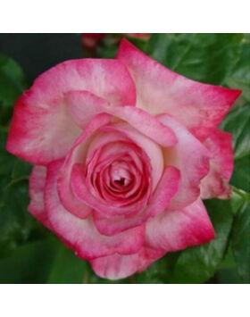 Rosa 'Daily Sketch' - Ezüstös, erős rózsaszín szélű virágágyi floribunda rózsa