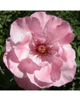 Rosa Geisha - Halvány rózsaszín virágágyi ágyás rózsa