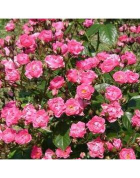 Rosa Ingrid Stenzig - Sötétrózsaszín virágágyi ágyás rózsa