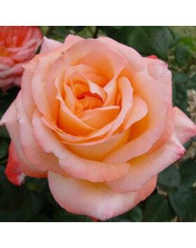 Rosa 'Joyfulness' - Sárgabarack színű virágágyi ágyás rózsa