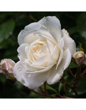 Rosa Korbin - Fehér ágyás rózsa