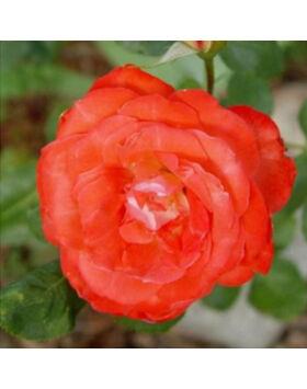 Rosa 'Scherzo' - Narancssárga virágágyi floribunda rózsa