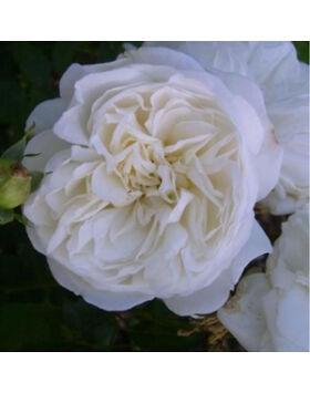 Rosa 'Weisse Gruss an Aachen' - Fehér virágágyi floribunda rózsa