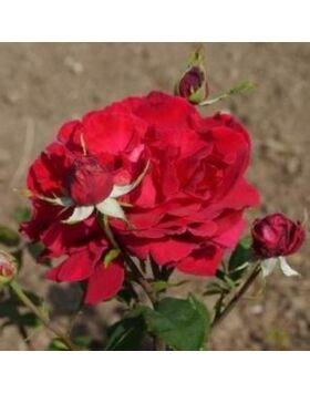 Rosa 'Volcano' - Cseresznyepiros - teahibrid rózsa