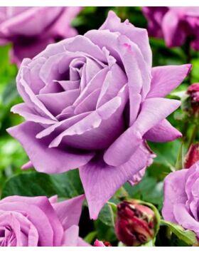 Rosa Waltz Time - Mályváslila teahibrid rózsa