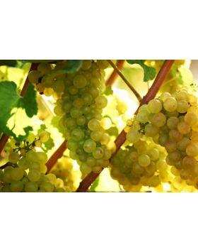'Chardonnay' fehér borszőlő