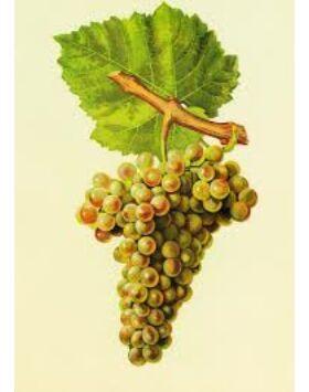 'Ezerfürtű' fehér borszőlő