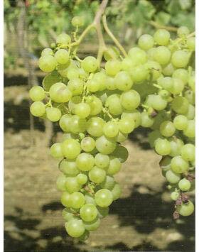 'Irsai Olivér' csemegeszőlő