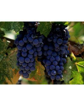 'Merlot' vörös borszőlő